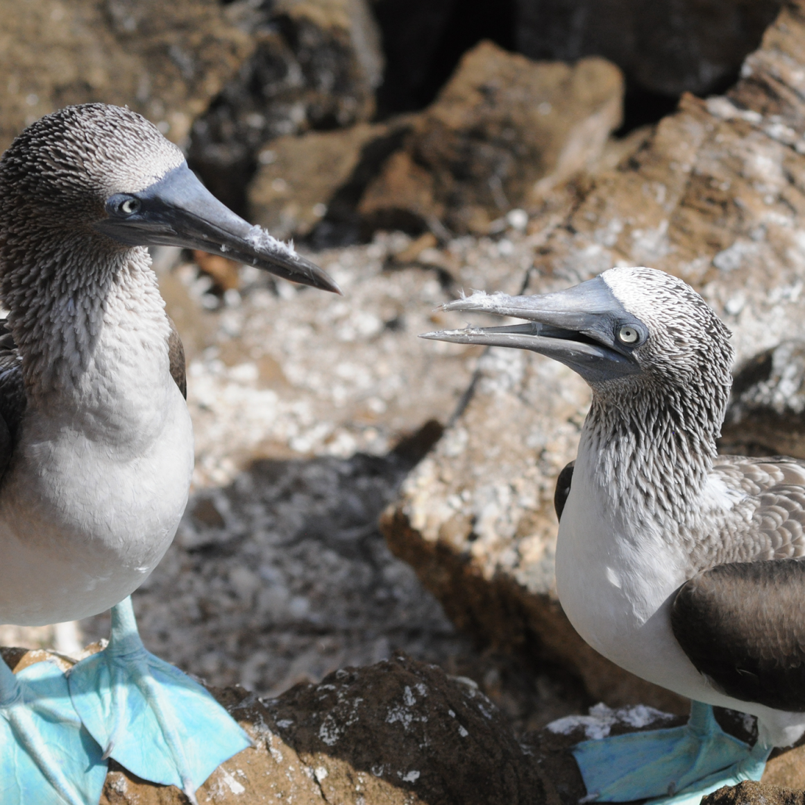 Blue-footed boobies in the Galapagos.
